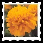 ENCHANTED SEEDS ~ BRING FAERIES TO YOUR GARDEN ~ MARIGOLD