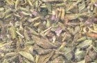 Pennyroyal Leaf Cut 1oz